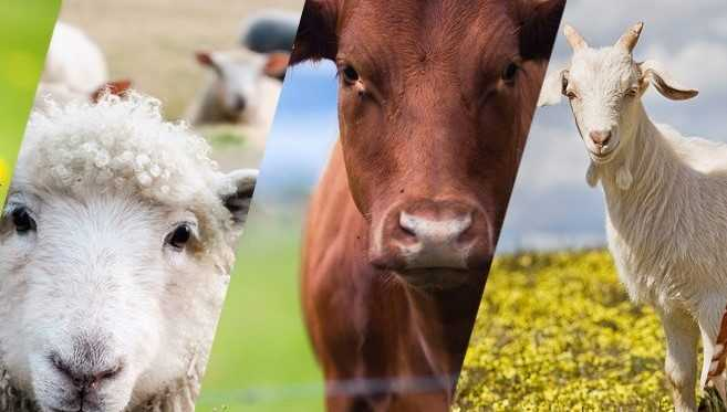 Hayvancılığa Yüzde 50 Destek